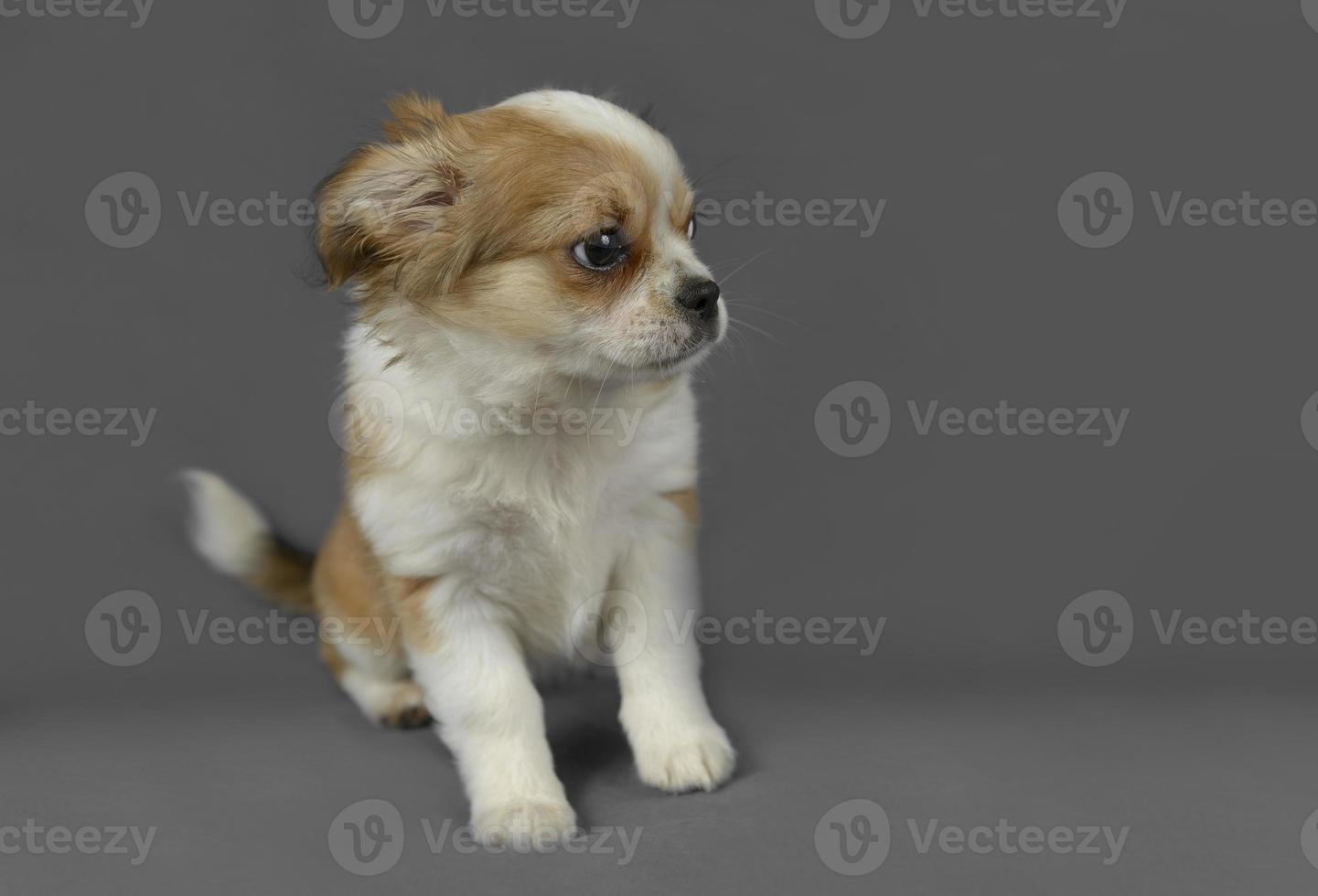 schattig zuiver ras chihuahua pup foto