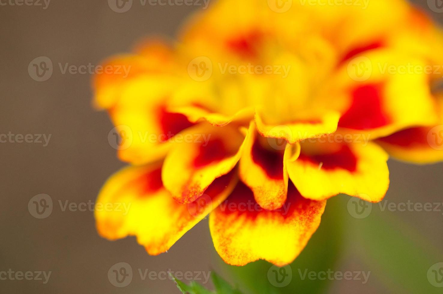 goudsbloem bloemblaadjes foto