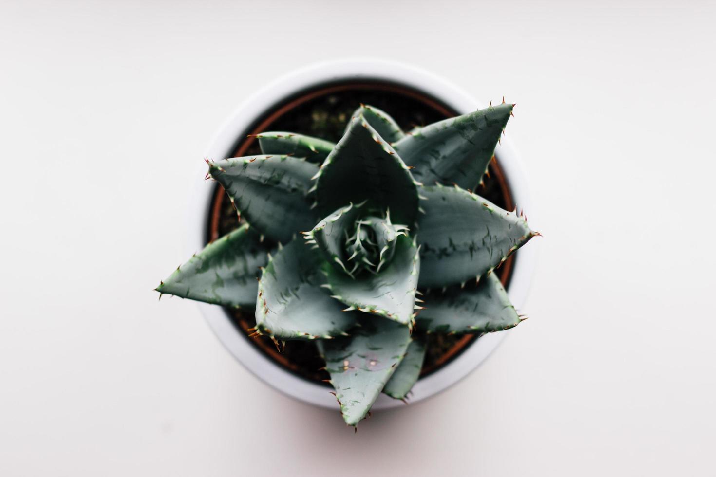 groene cactus op witte achtergrond foto