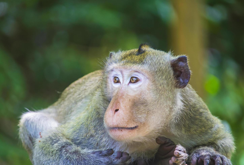 makaak aap in het bos foto