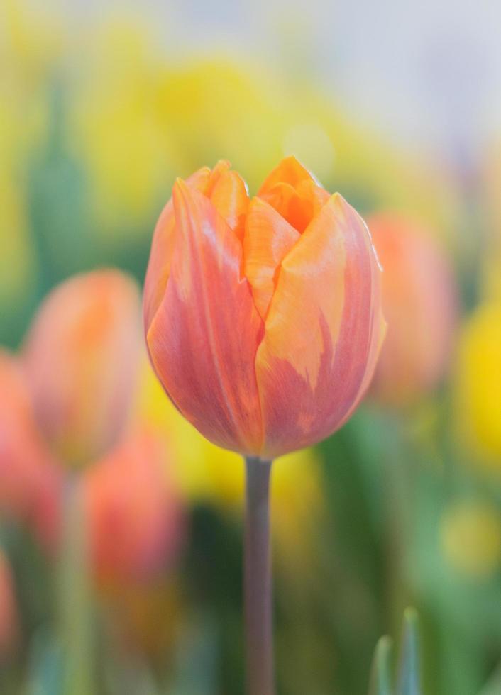 close-up van een kleurrijke tulp foto