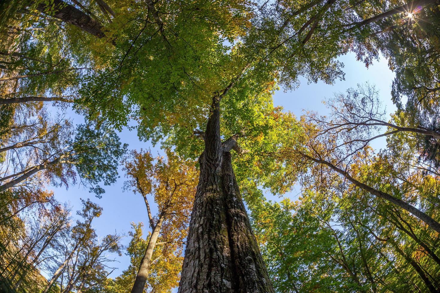 omhoog kijken naar hoge herfstbomen foto