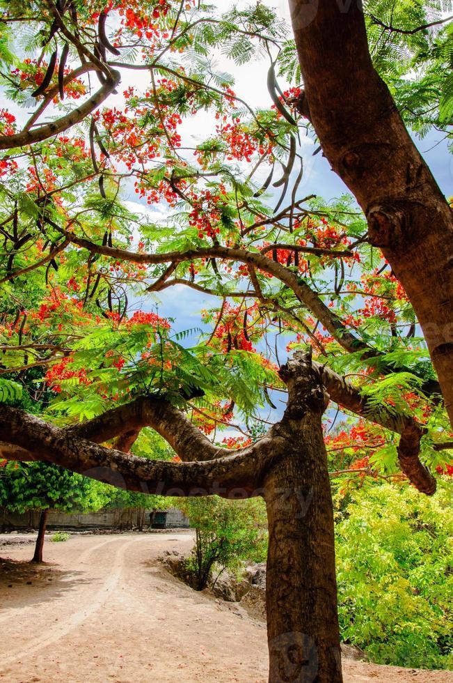 koninklijke poinciana of de bloesem van de vlamboom in Thailand foto