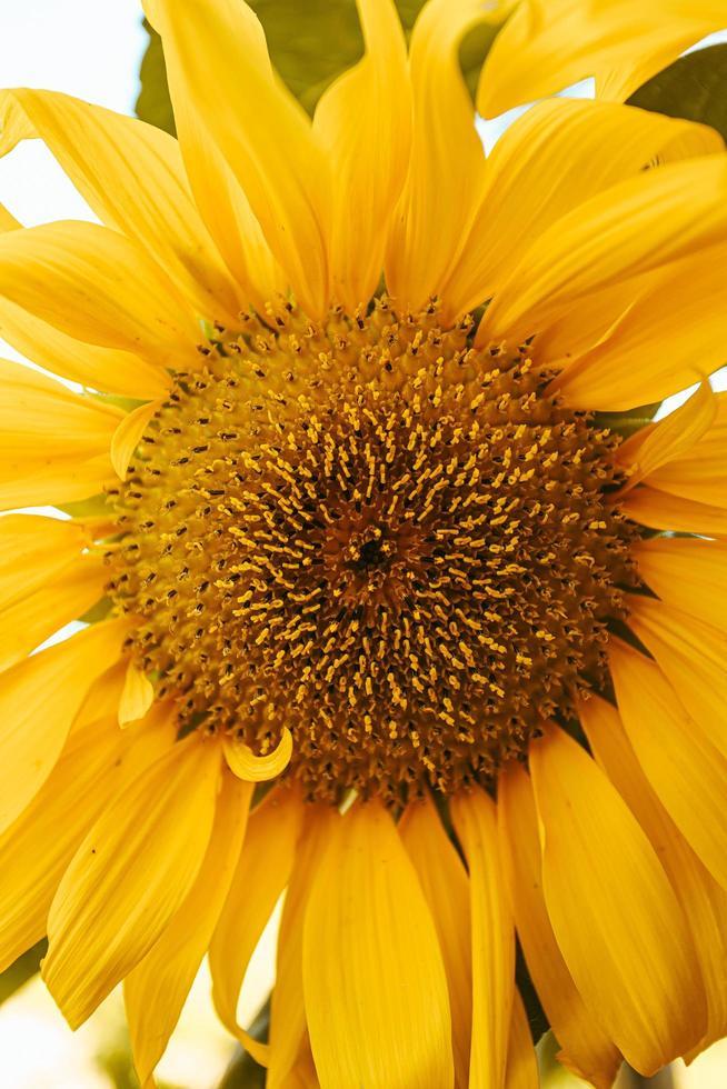 een close up van een zonnebloem foto