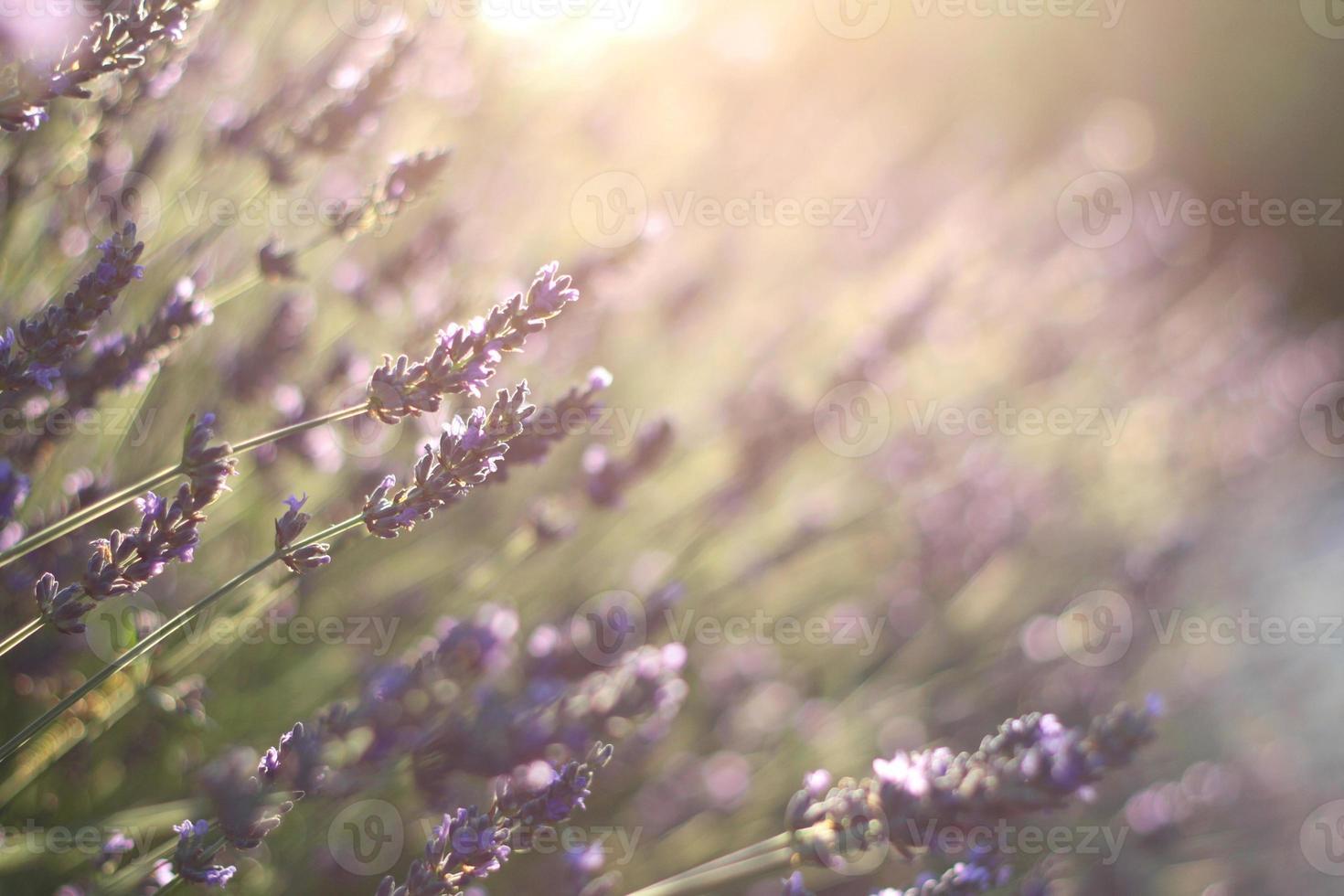 lavendelbloemen tijdens zonsondergang in de provence foto