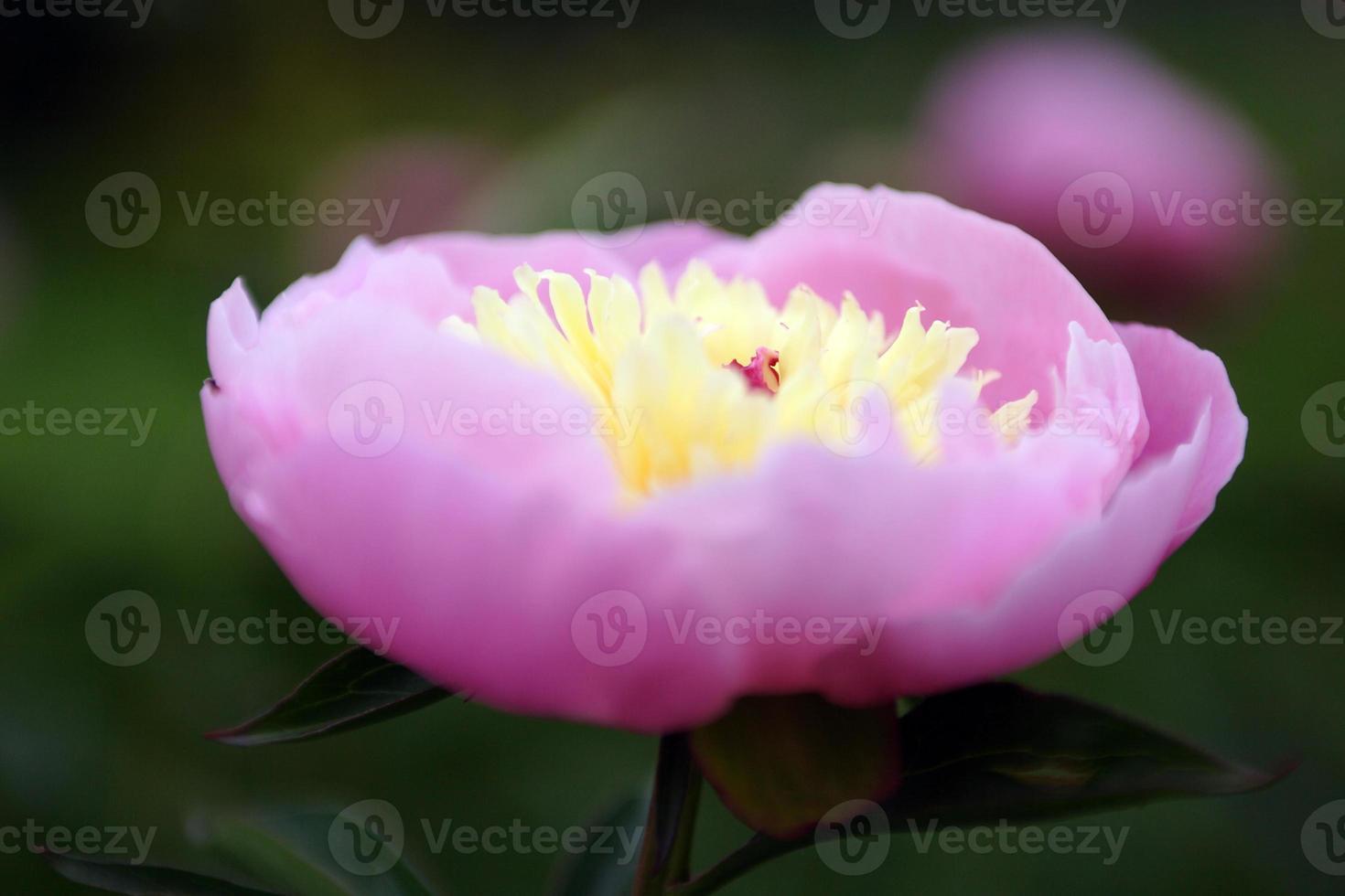 bloemen, pioen foto