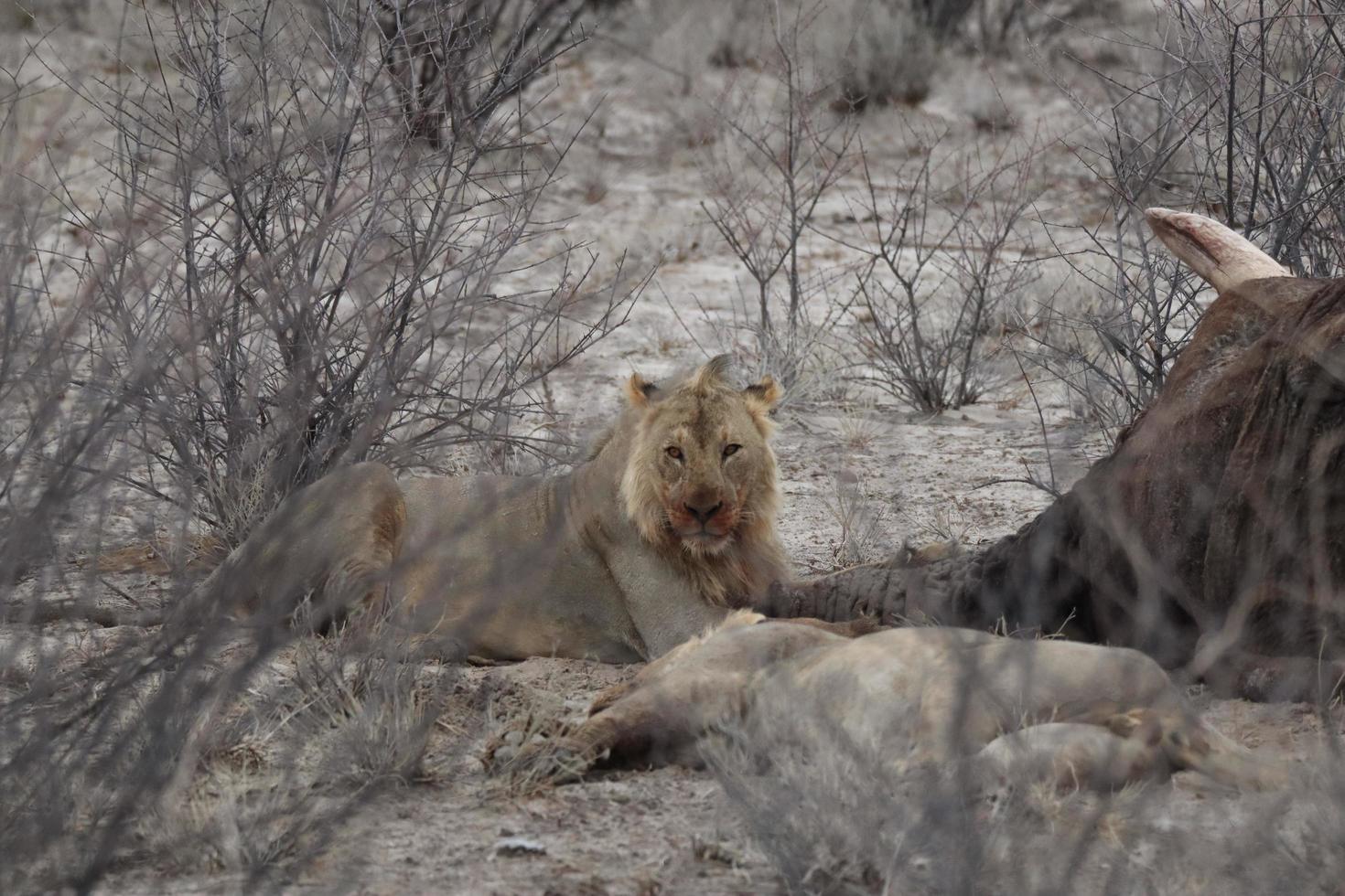 leeuw met prooi namibië foto