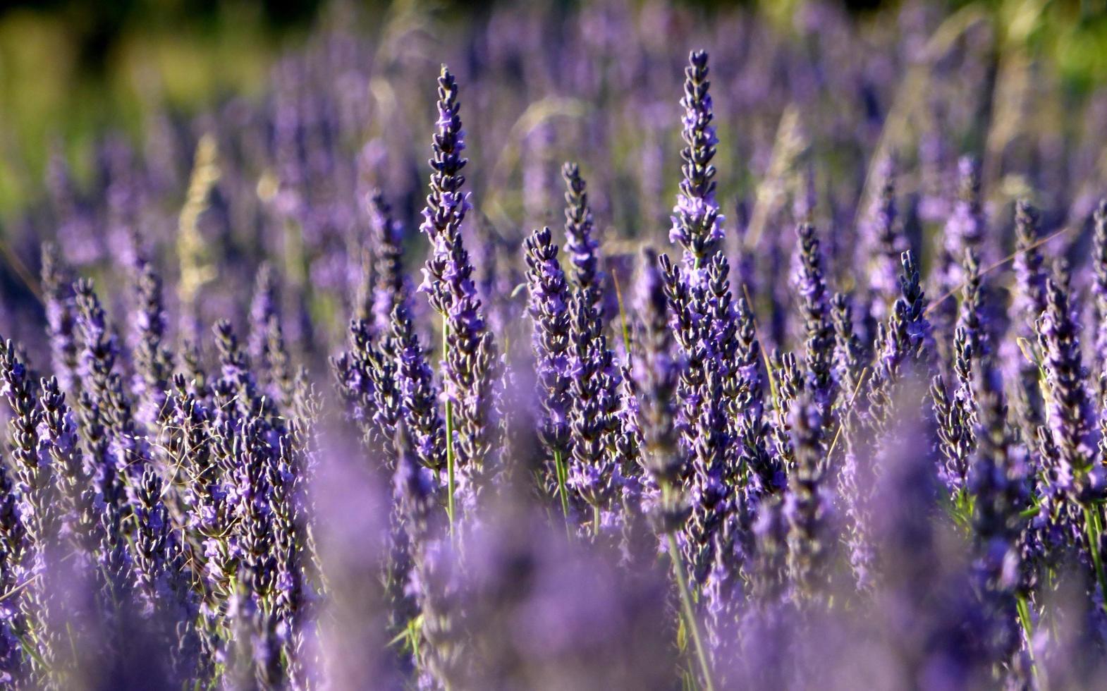 close-up van een veld met lavendel foto