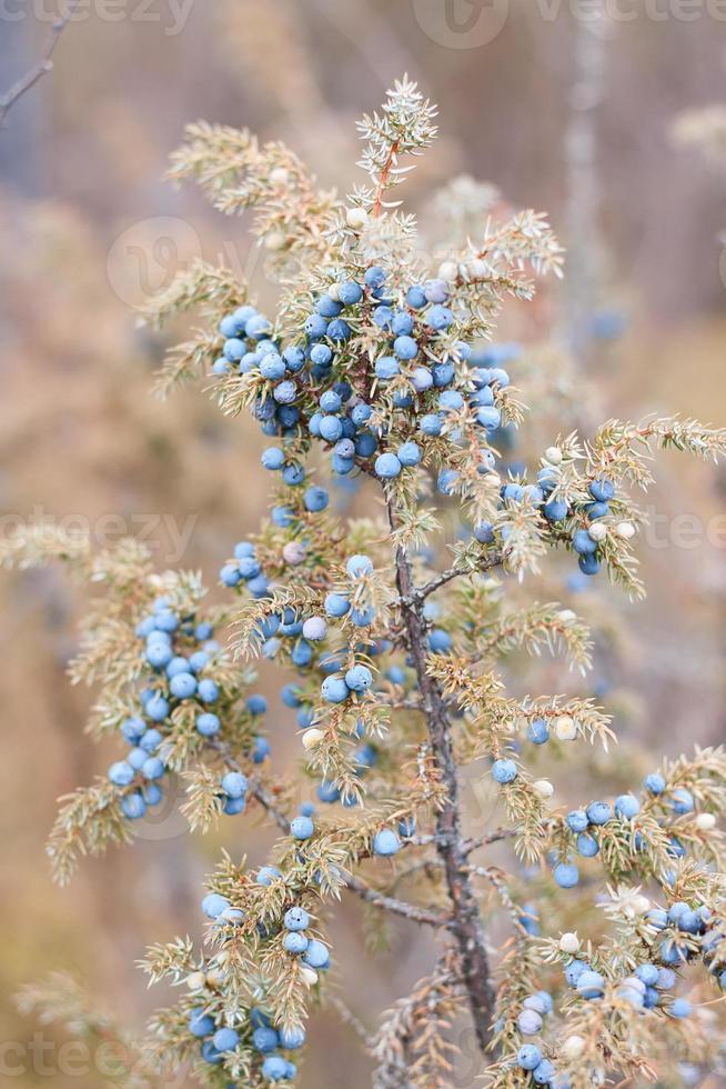 blauwe jeneverbes op struik foto
