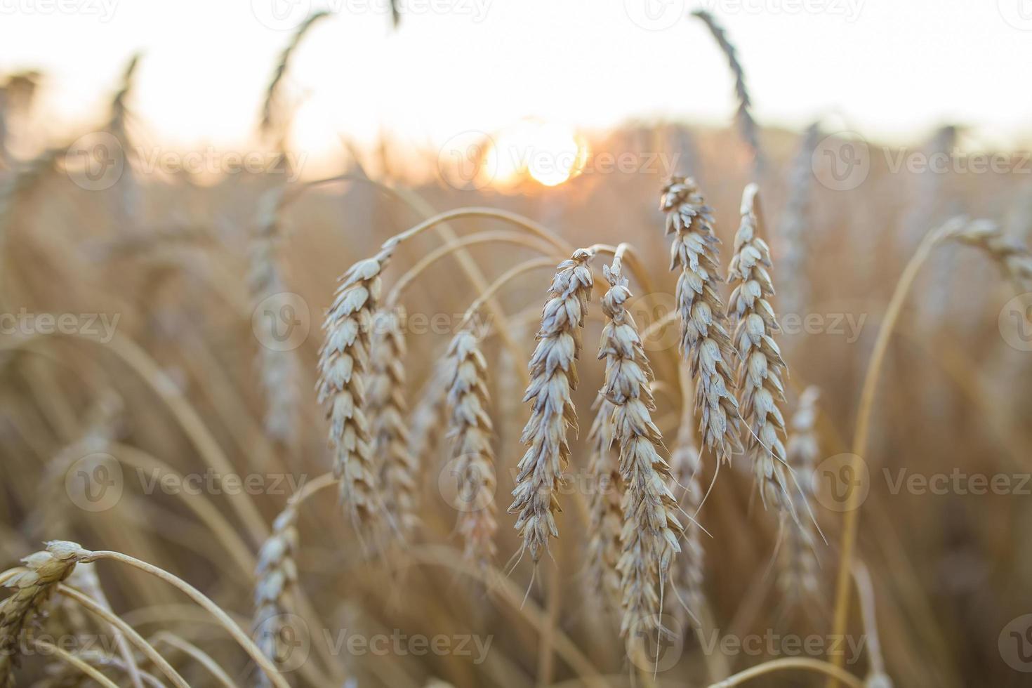 gouden oren van tarwe onder hemel foto