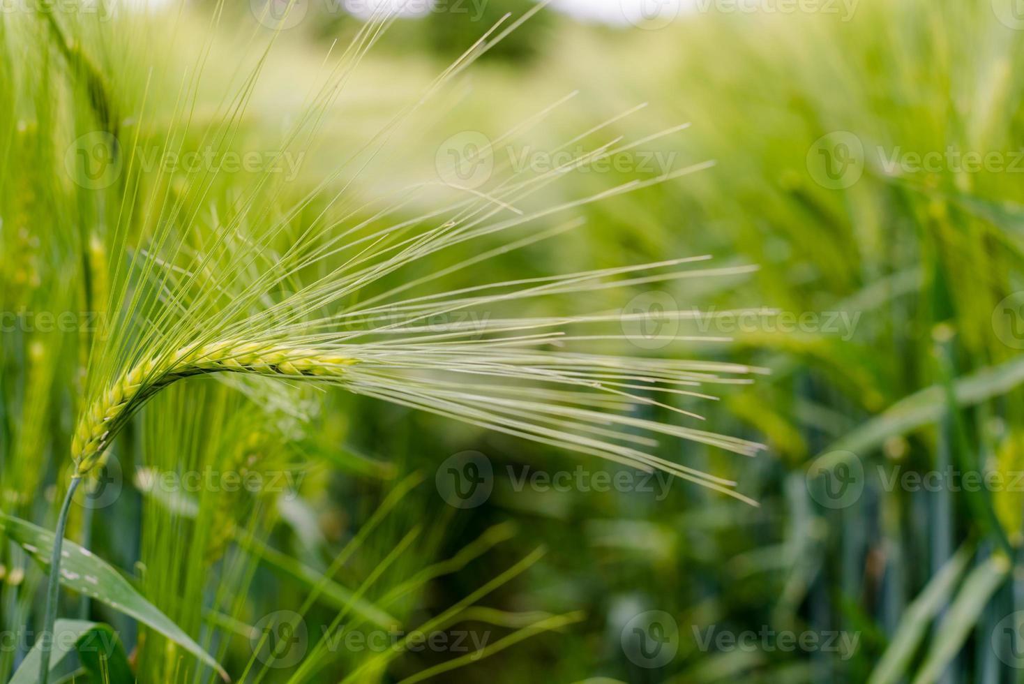 close-up van groene tarwe. foto