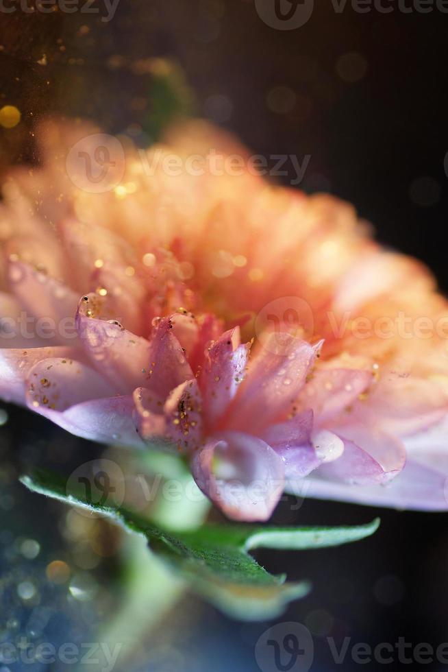 macro van chrysanthemum bloem met glitters foto
