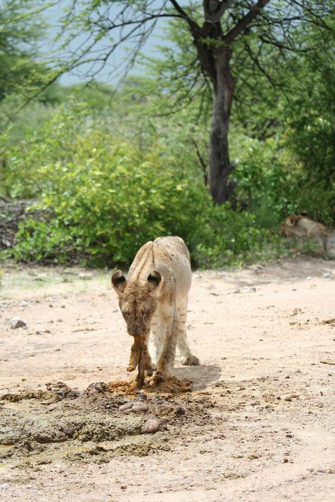 leeuwin die op de weg eet. groene savanne, etosha, namibië foto