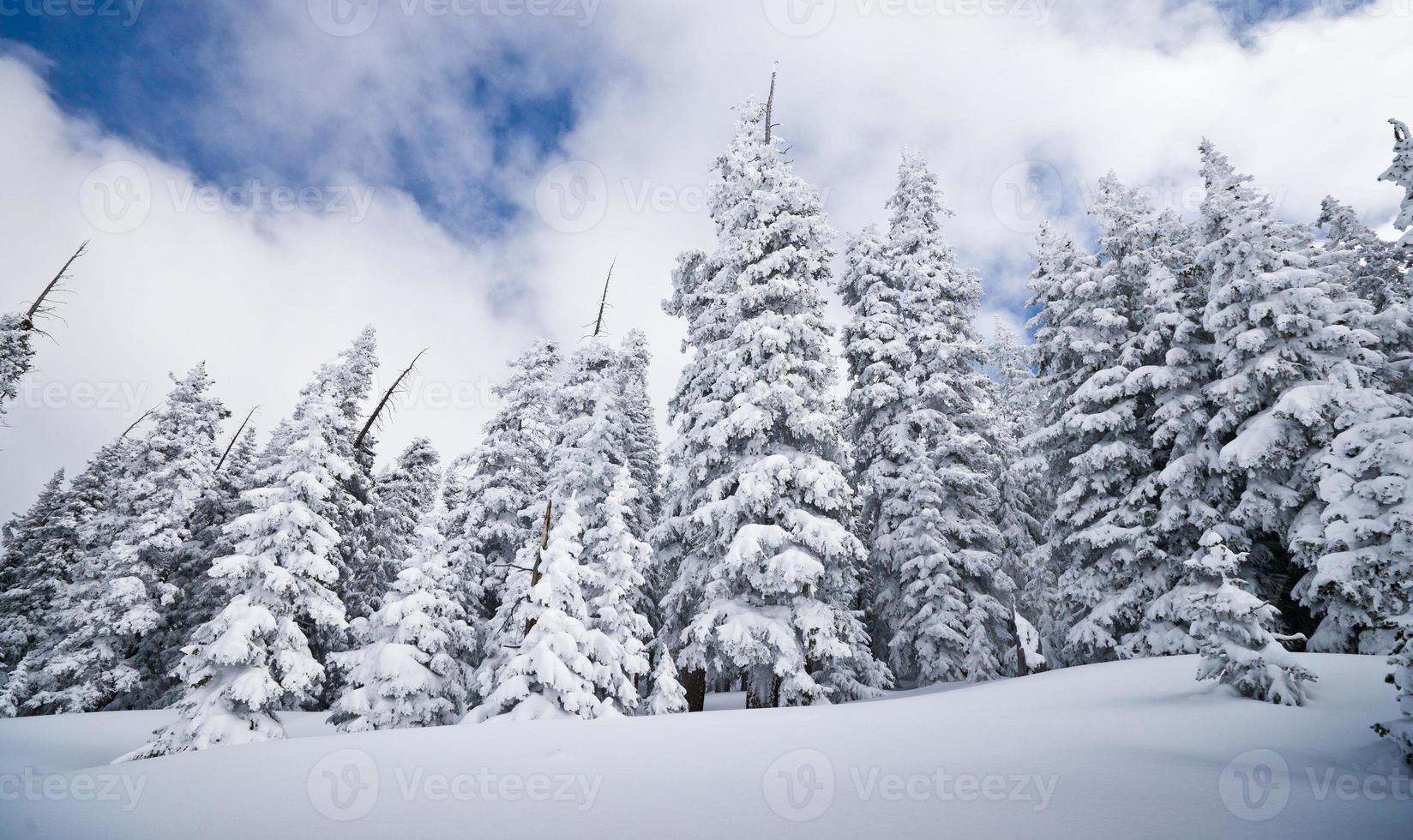 winter naaldbos vallende sneeuw foto