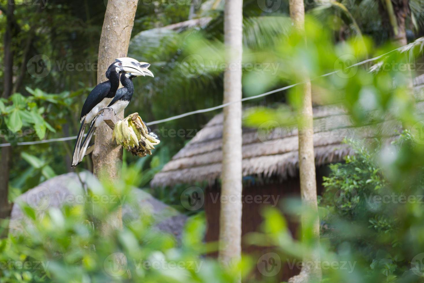 neushoornvogel zitstokken op een tak in het bos foto