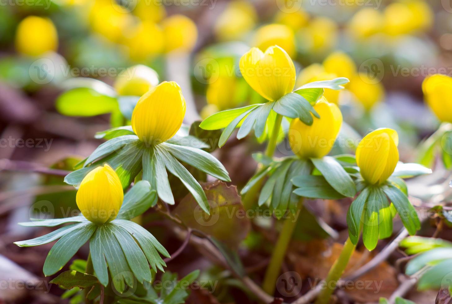 anemoon bloeit bloeiende toppen foto