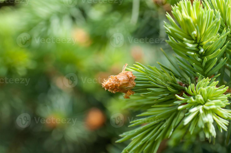 jonge fir branch foto
