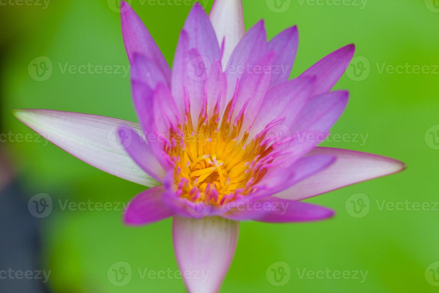 paarse lotusbloem, thailand foto