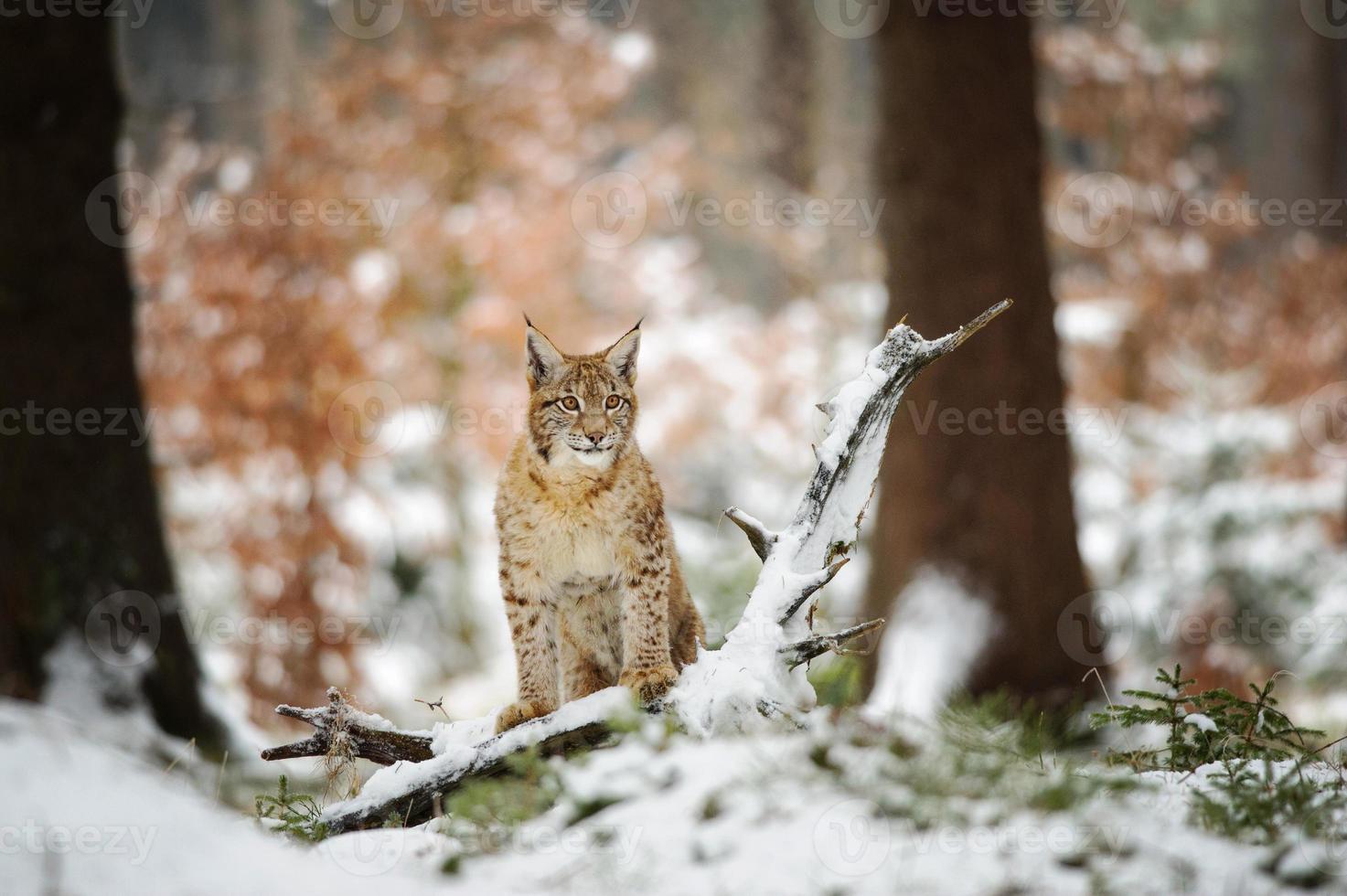 Euraziatische lynxwelp die zich in de winter kleurrijk bos met sneeuw bevindt foto