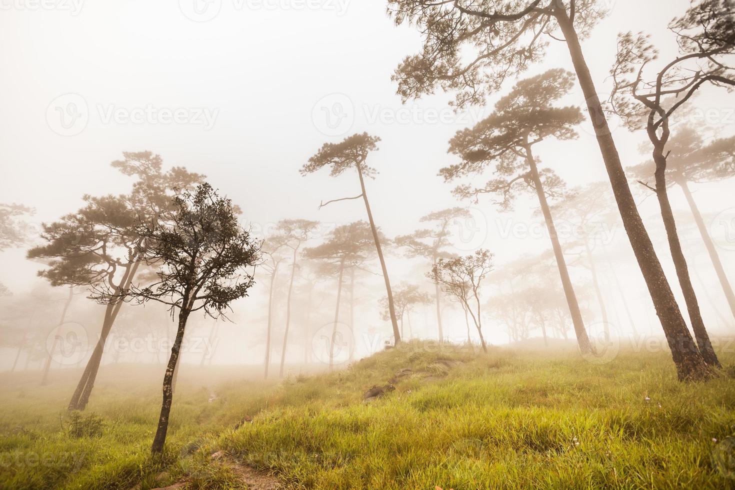 dennenbos gouden licht in de mist en regent mist foto