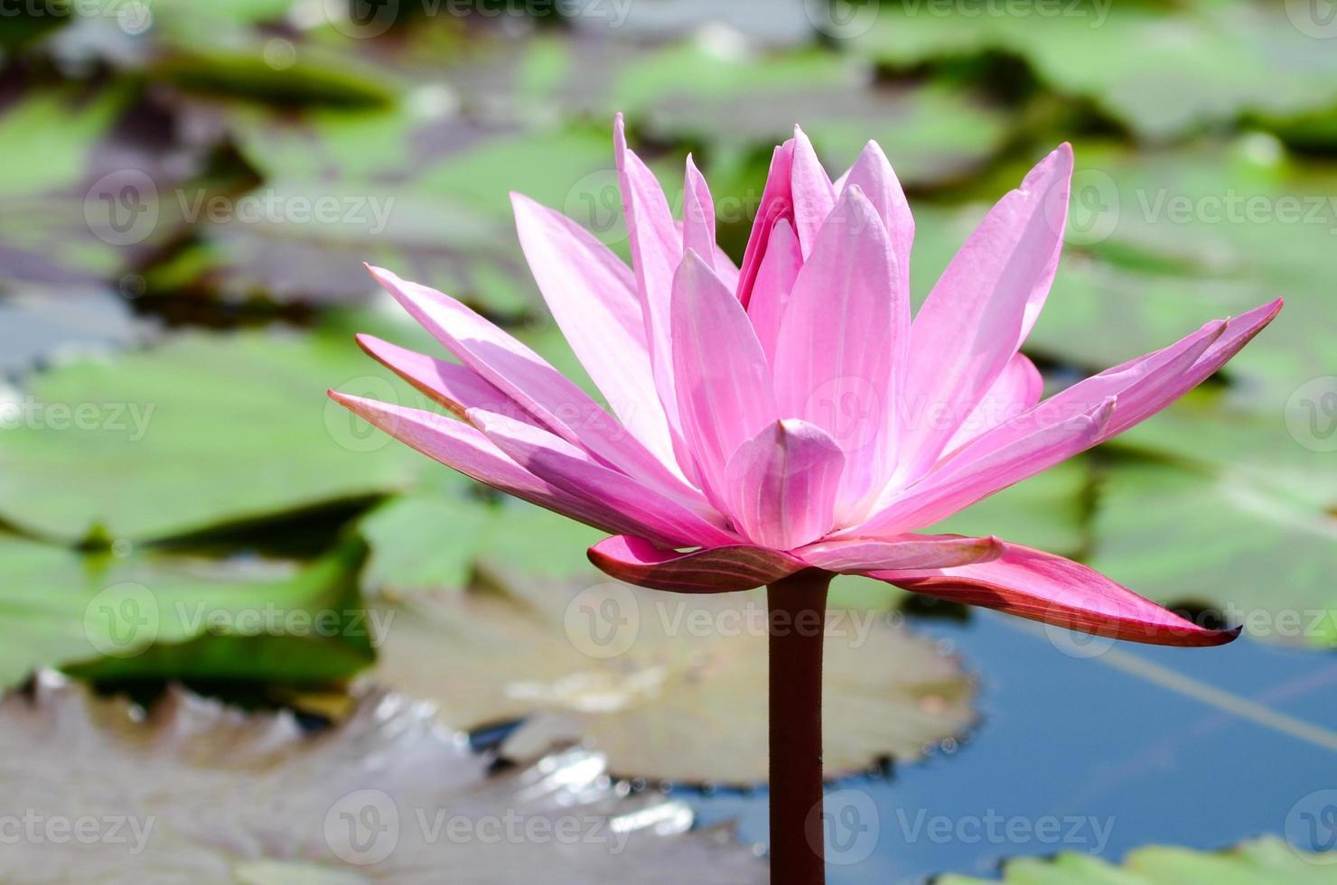 roze lotusbloem foto