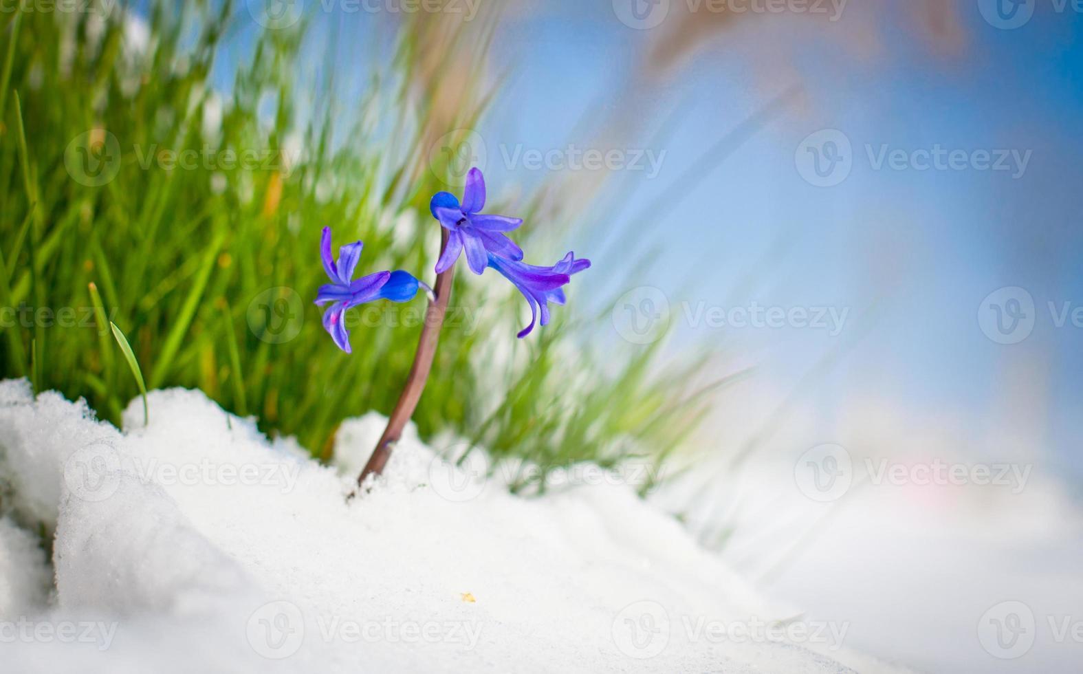 de eerste knoppen van hyacint in het voorjaar. foto