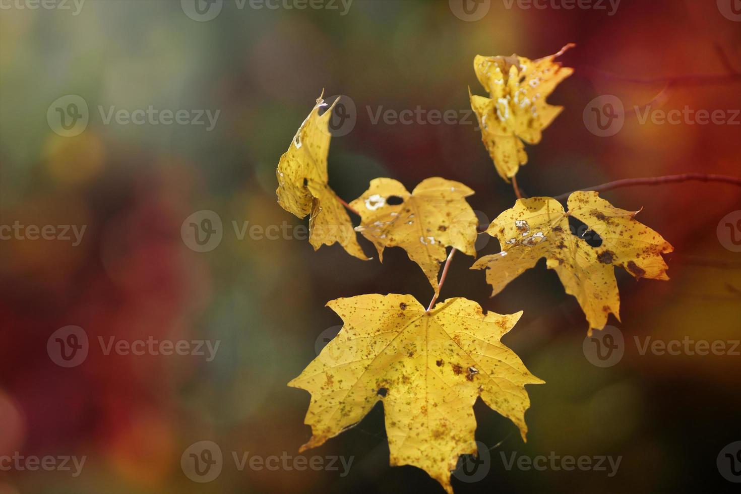 details van gele esdoorn herfstbladeren, gloeiende zon foto
