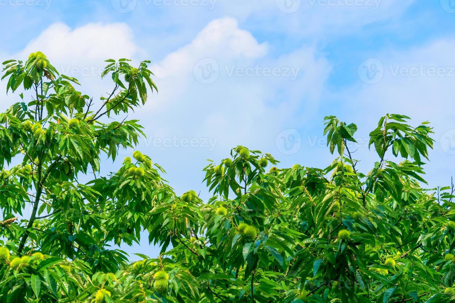 kastanjeboom en groene kastanjes foto