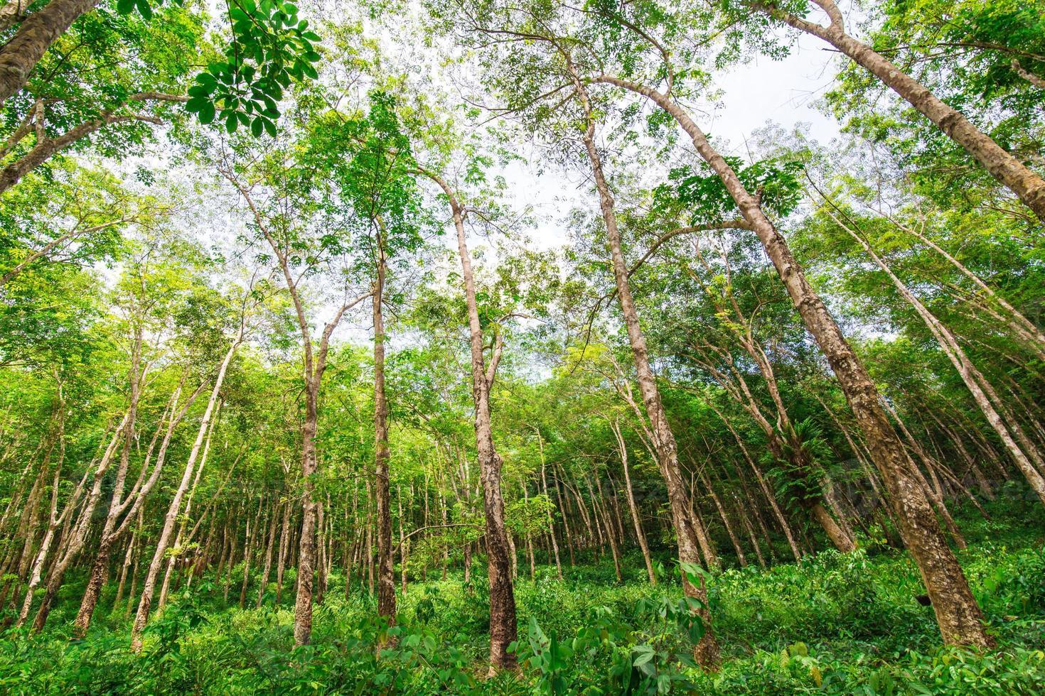 landschap van rubberbomen foto