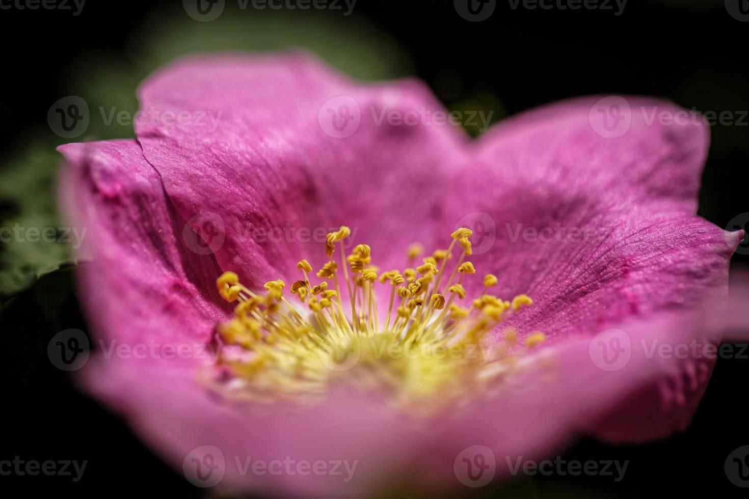 over het roze naar het goud foto