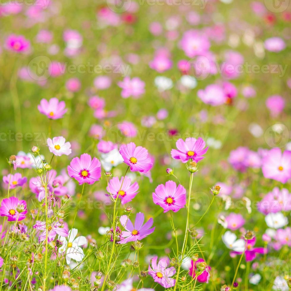 roze kosmosbloemen. foto
