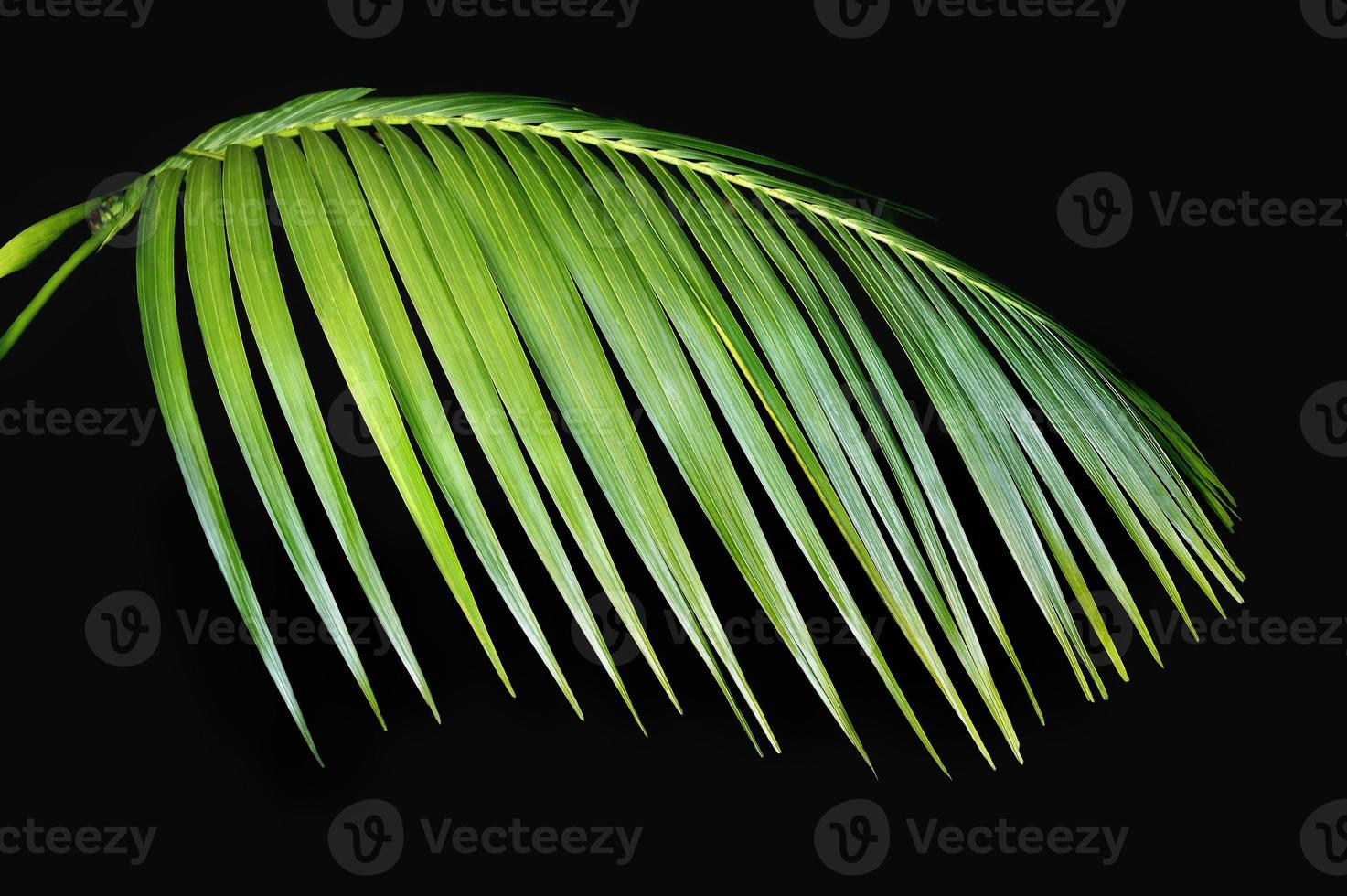 groen palmblad agasint zwart foto