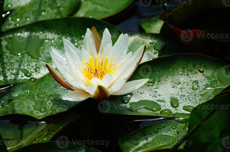 waterdruppels op blad na zomerregen foto