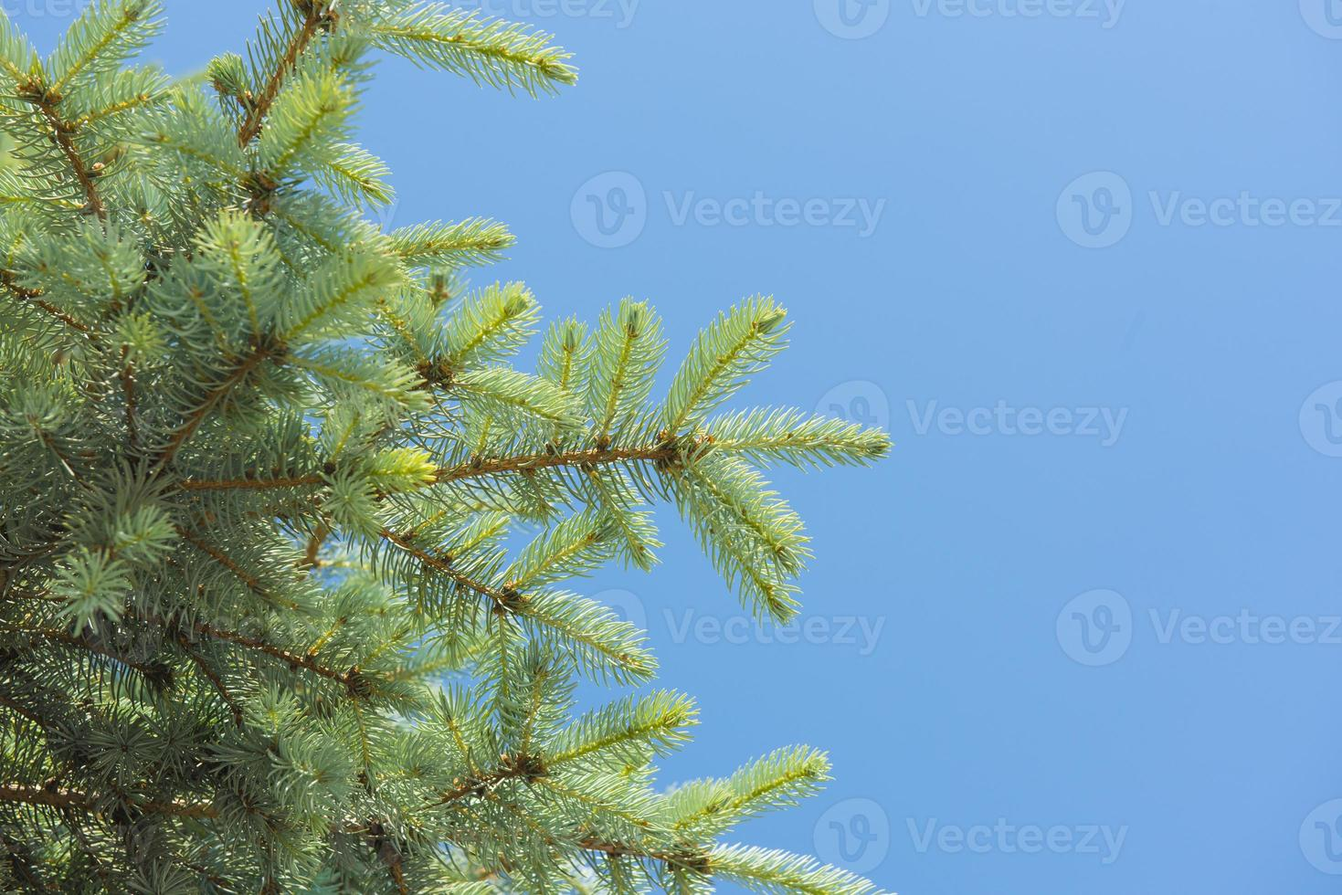 close-up van een dennenboomtak foto