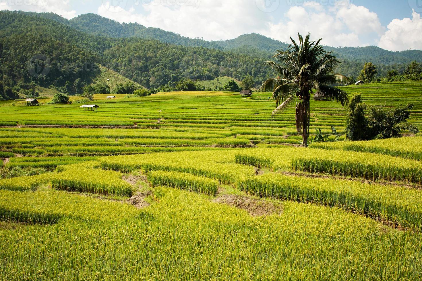 gouden rijstoogstseizoen nadert foto