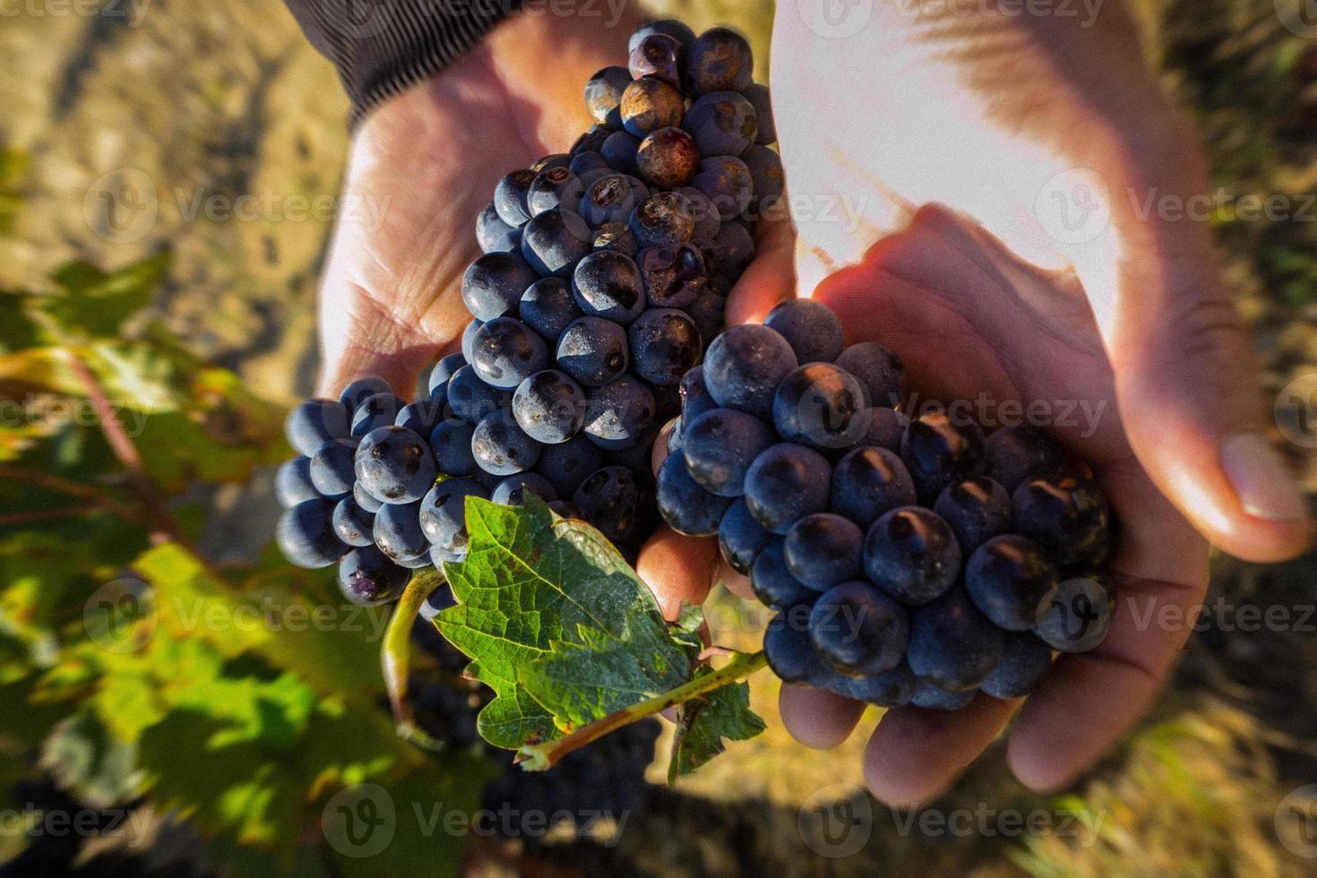 franse wijngaard - druiven in de hand foto