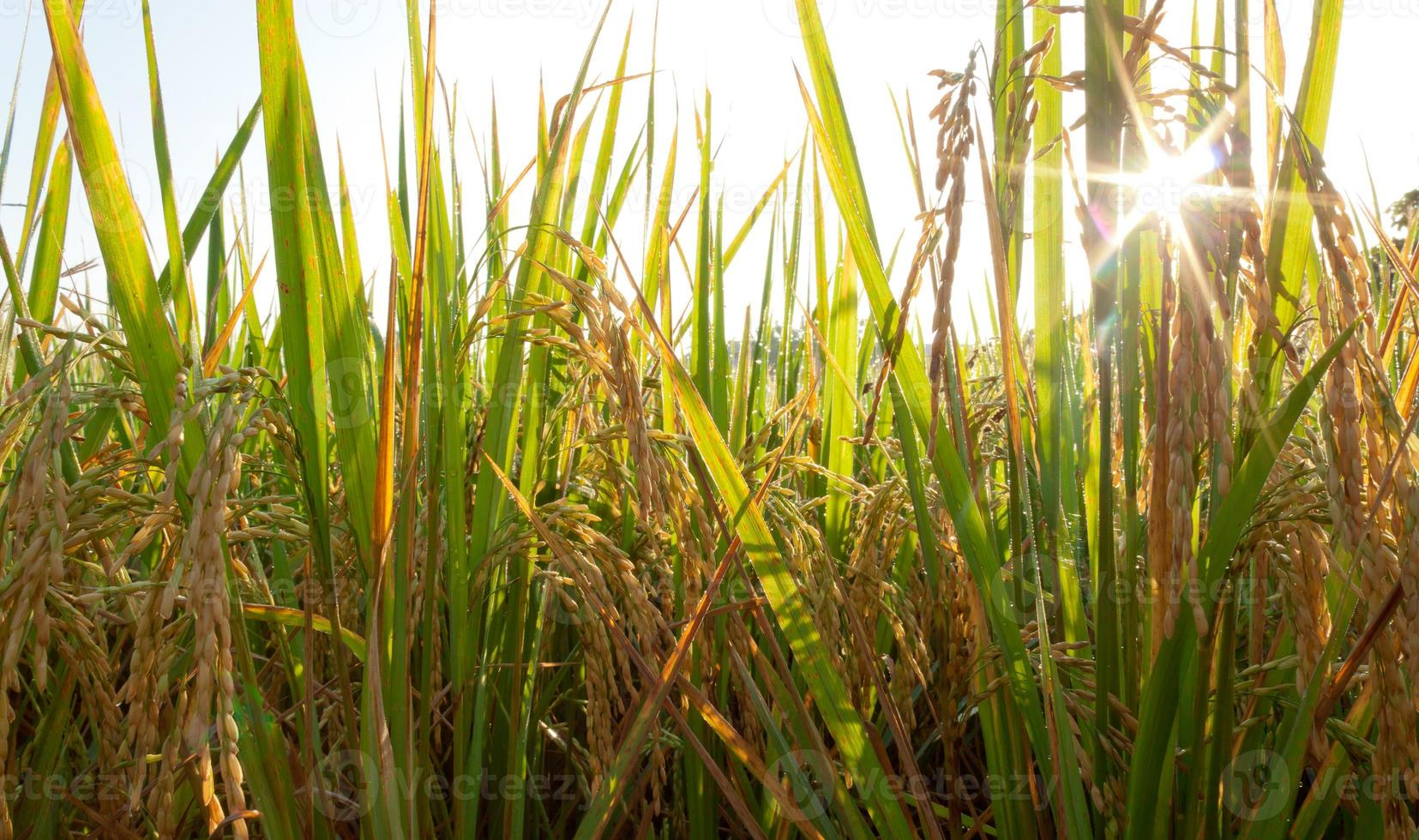 zonnige dag op rijstveld foto