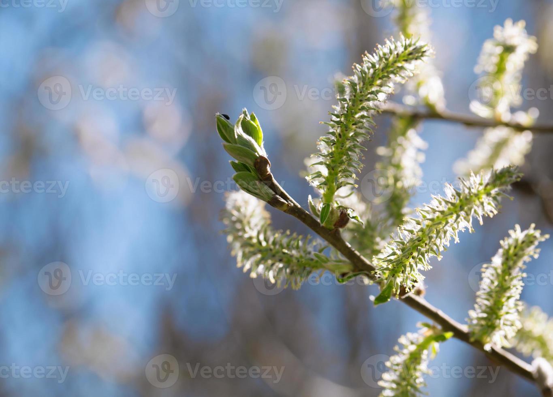 lente wilgenkatjes op tak close-up foto