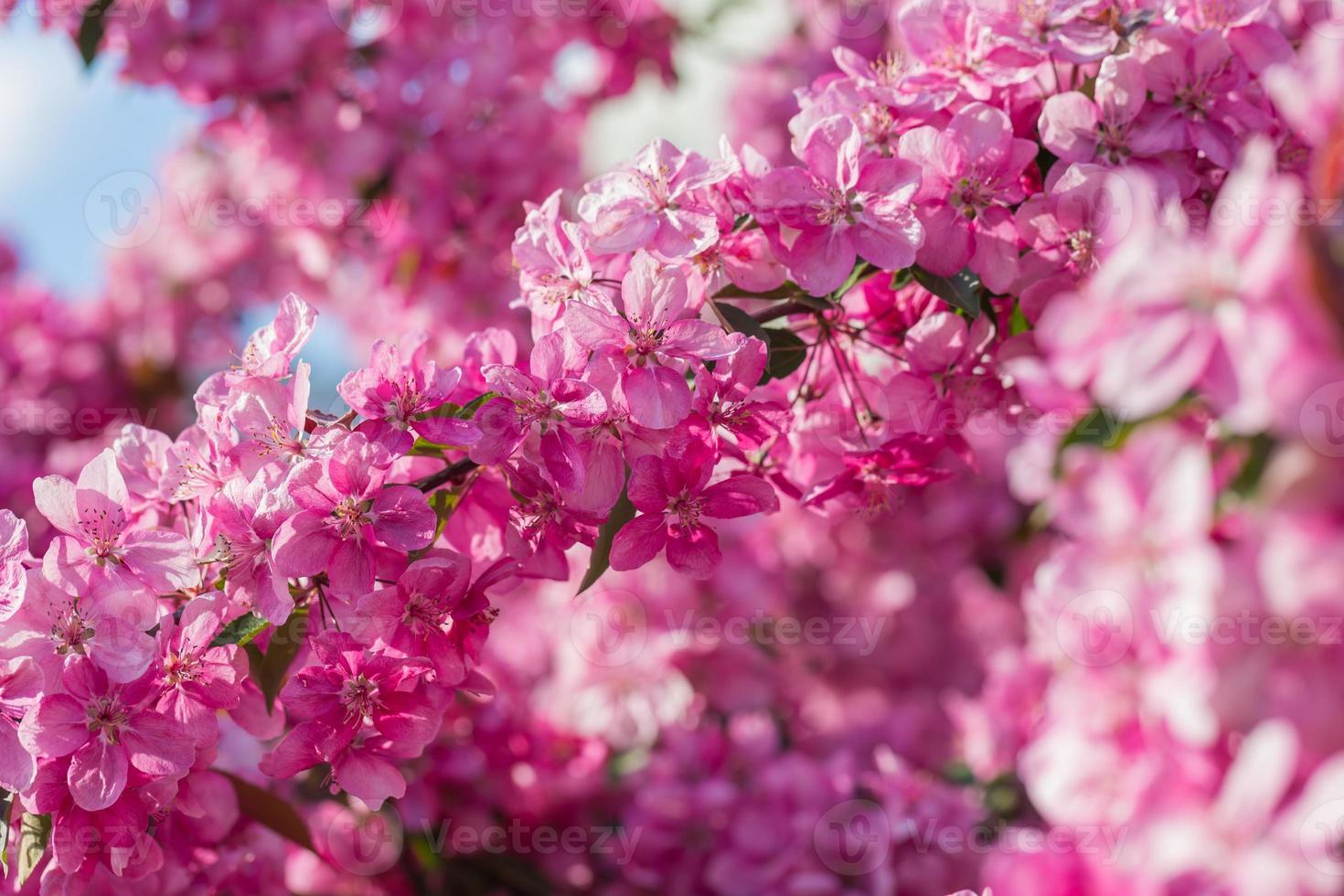 paradijs appelboom bloeit, foto