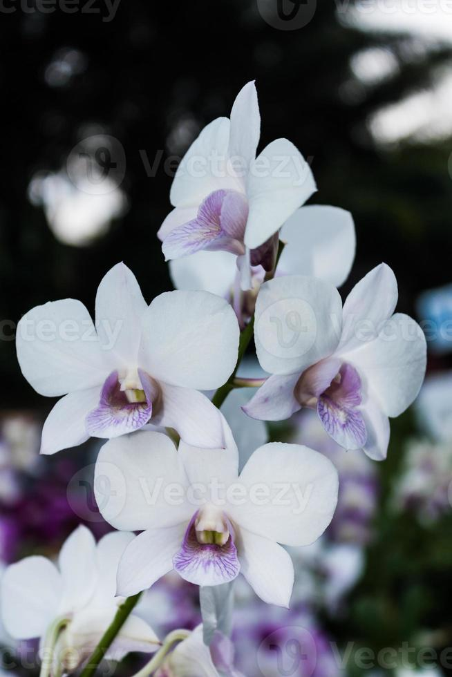 witte en paarse orchidee foto
