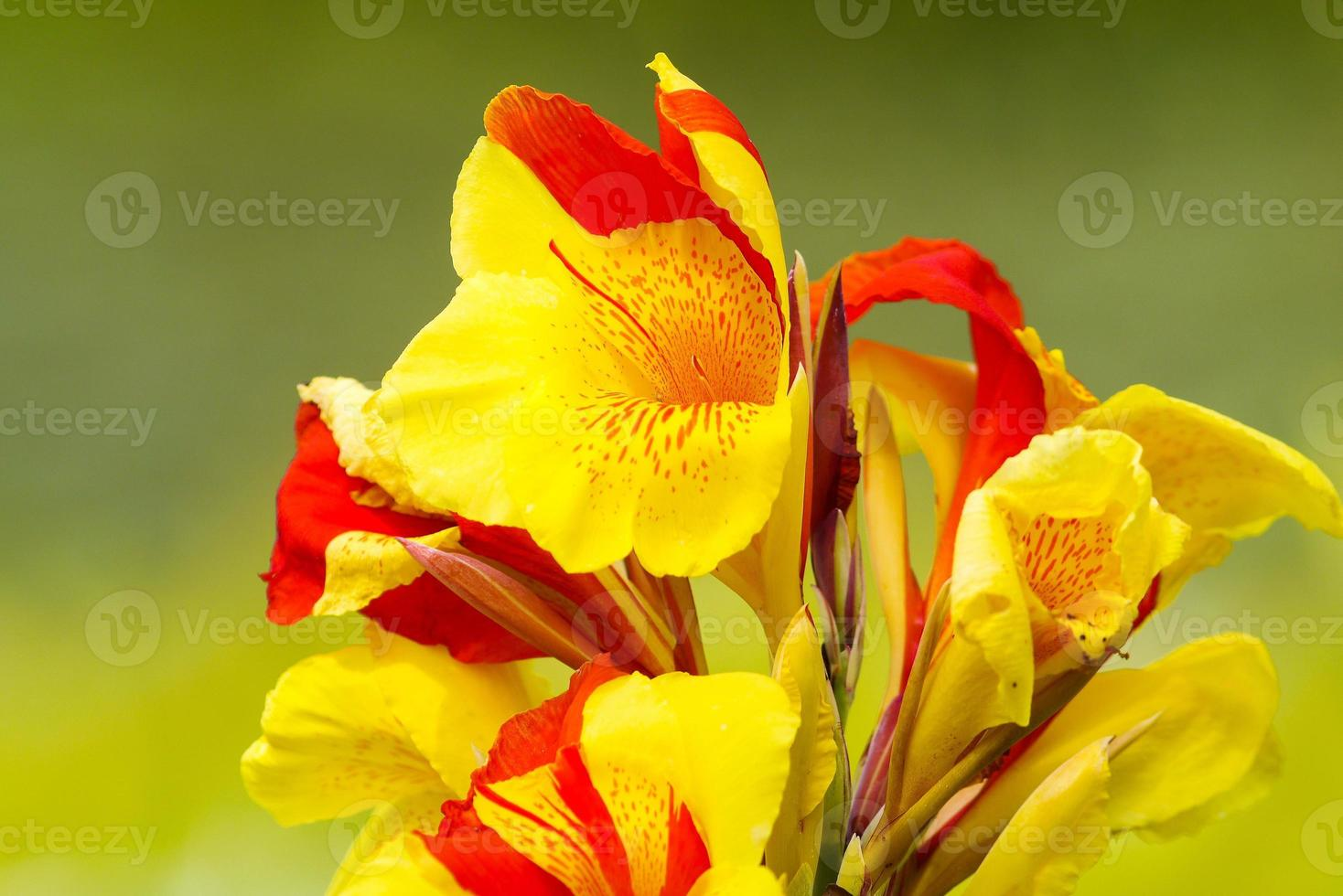 cannas lilly foto