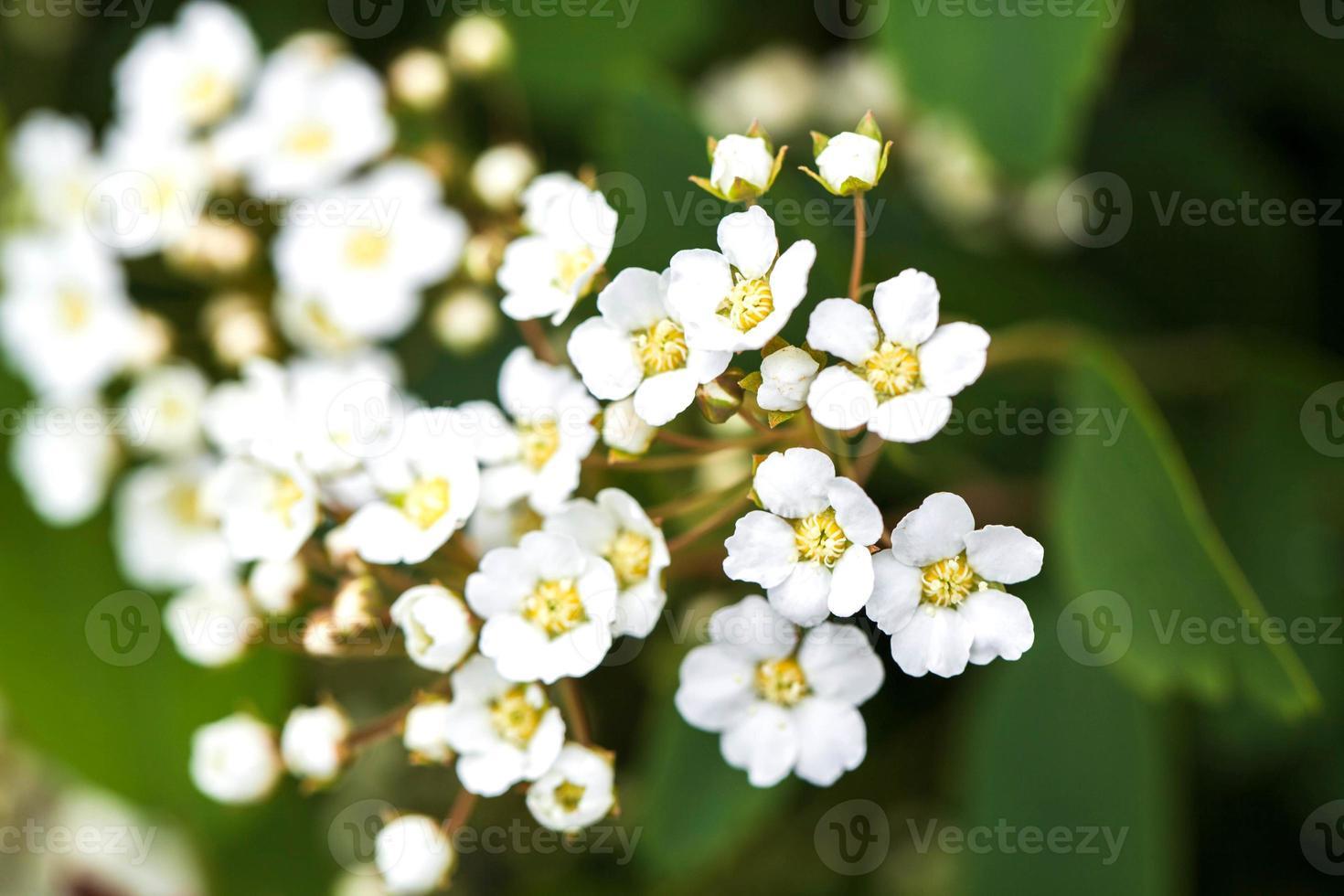 tak met kleine witte bloemen bloeien in een tuin. de lente foto