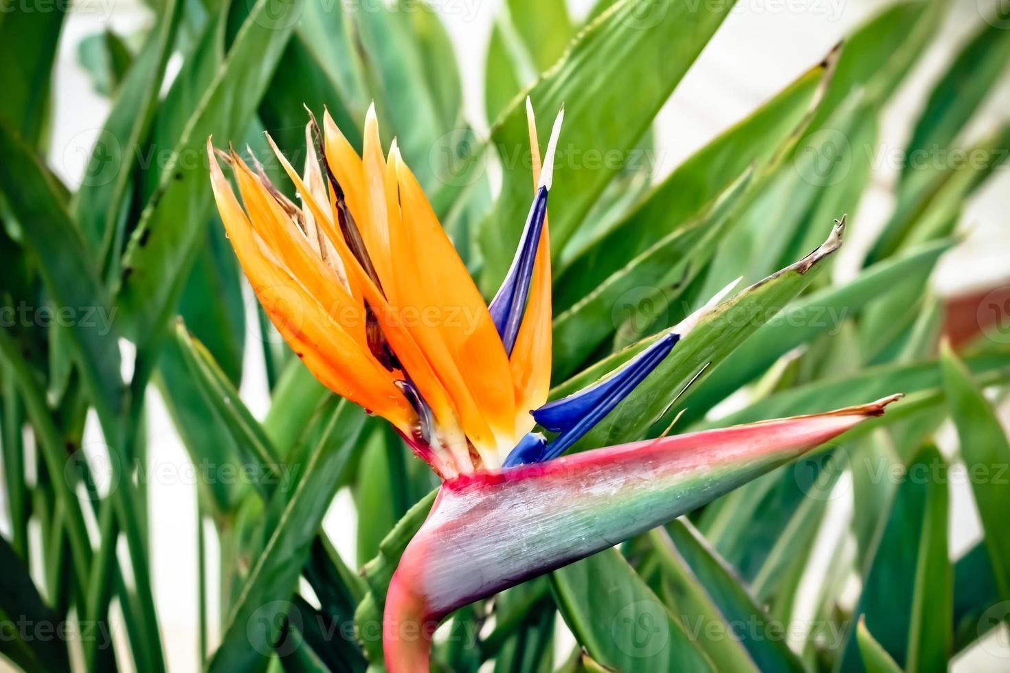 kleurrijke, exotische strelitzia-bloem foto