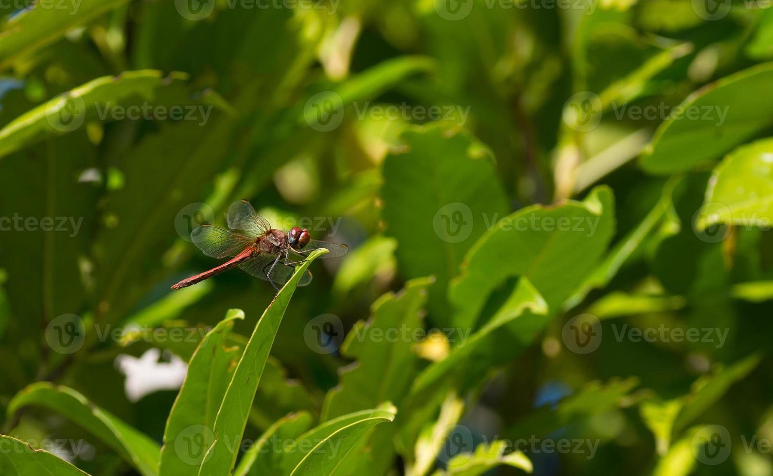 libellule rouge foto