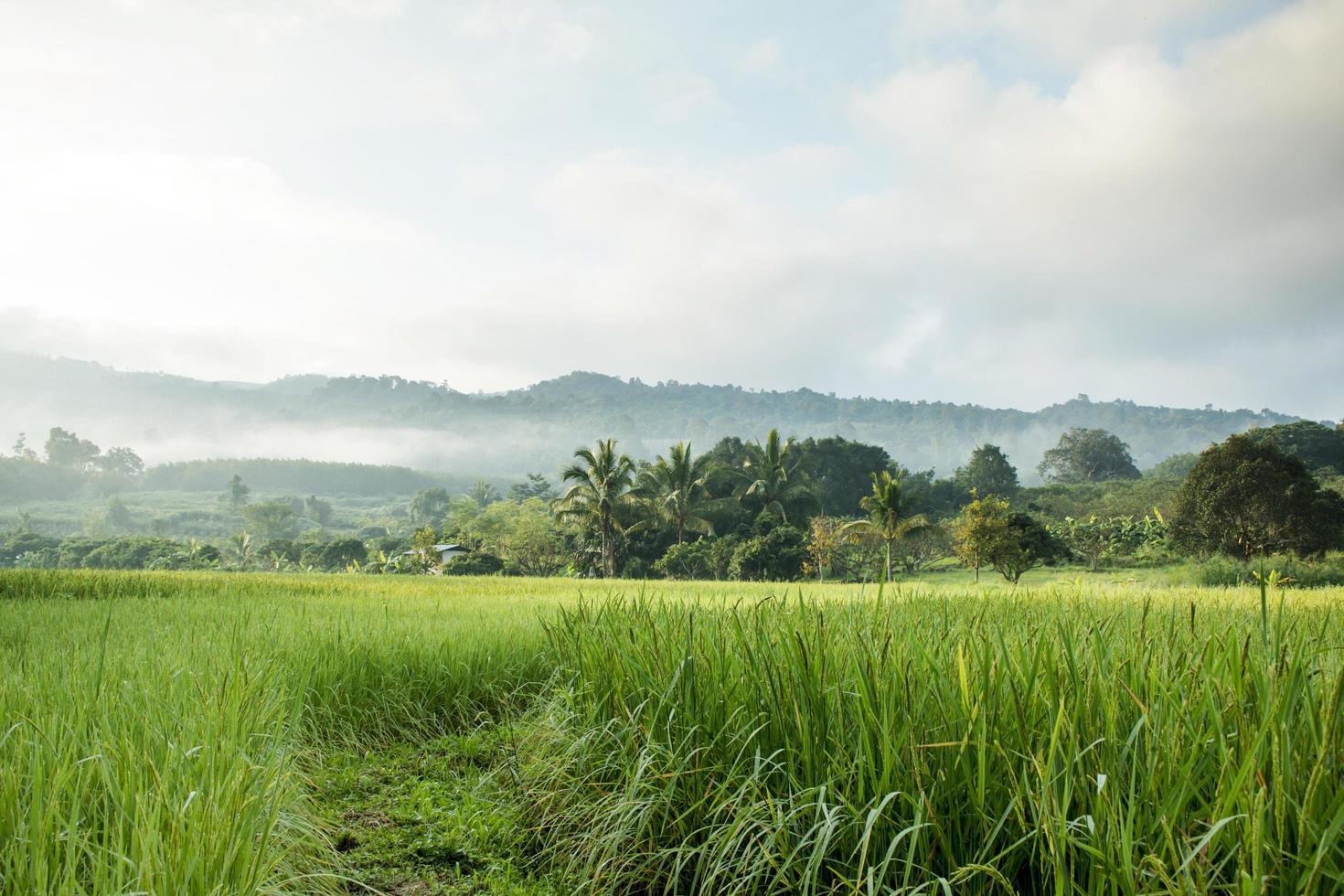 rijstveld in de herfst foto