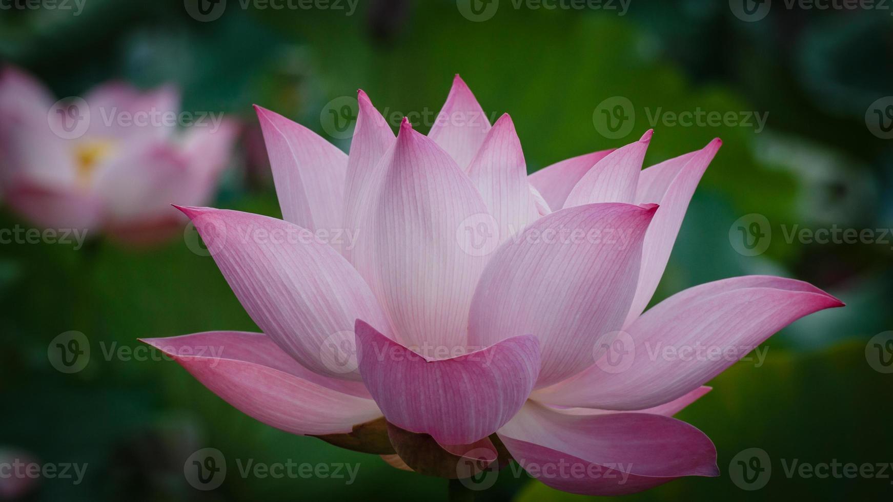 bloesem van enkele lotus foto