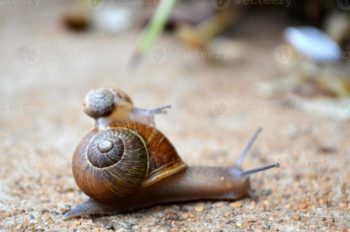 kleine slak die een ritje maakt op een grotere slak foto