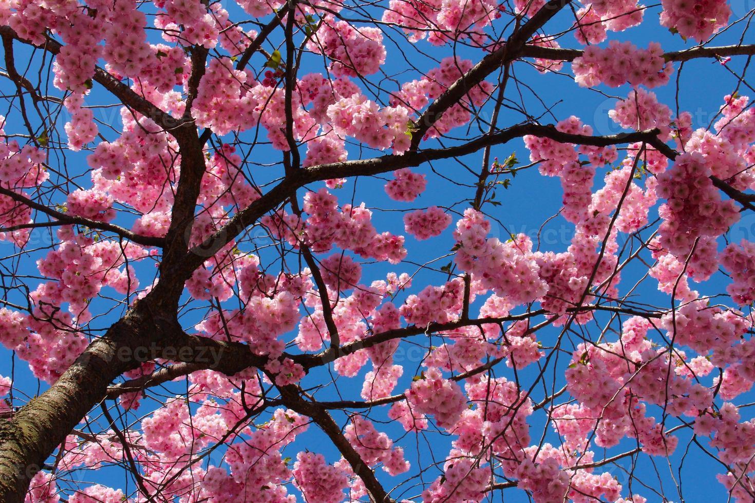 kersenbloesem tegen blauwe hemel foto