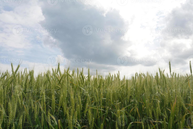 tarwe op bewolkte hemelachtergrond foto