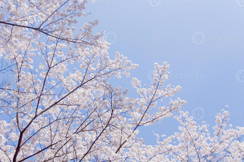 kersenbloesems en blauwe hemel foto